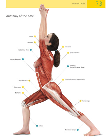 Anatomy of yoga medical illustration