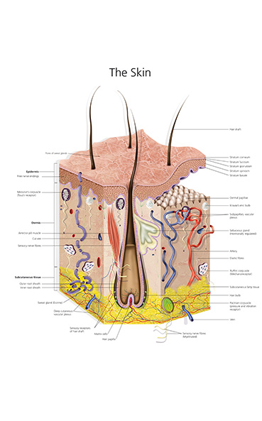 digital medical illustration of the human skin in cross section