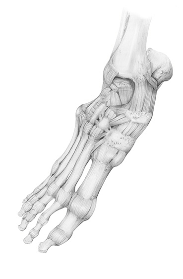 pencil medical art of the bones of the human foot